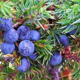 GIN Botanical – Wacholder